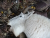 goat-2006-028